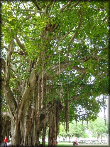 Banyan Trees in Straub Park on Beach Drive Downtown St. Petersburg, Florida