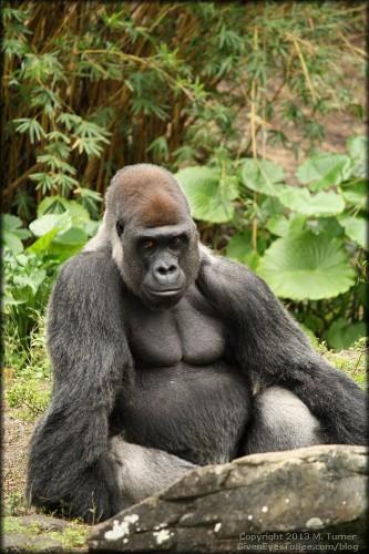 Silver back gorilla.