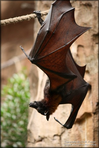Flying Fox (A fruit-eating bat, it has the largest wingspan of any bat in the world - up to 6ft!)