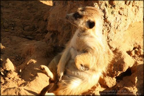 Meerkat sitting pretty