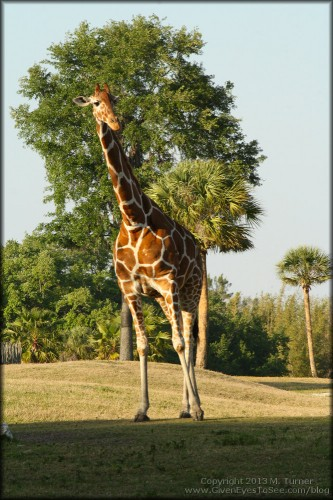 Giraffe taking a stroll