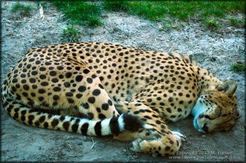 Cheetah cat nap