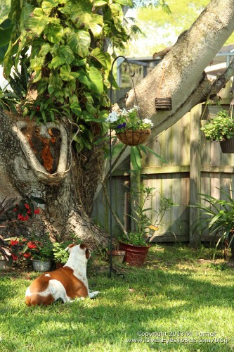 My Aunt's dog, Honey, is very interested in the squirrel in the tree.