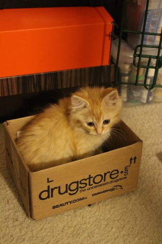 Even at 7 weeks old, she's powerless to resist the lure of a cat trap box!