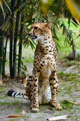 Cheetah at Busch Gardens Tampa (click for larger)