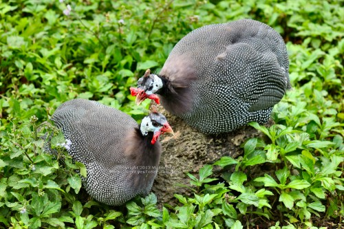 Guinea Fowl at Busch Gardens Tampa (click for larger)