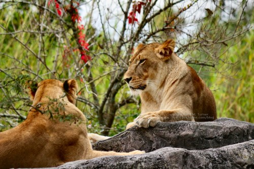 Lionesses at Busch Gardens Tampa (click for larger)