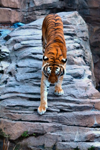 Tiger at Busch Gardens Tampa (click for larger)