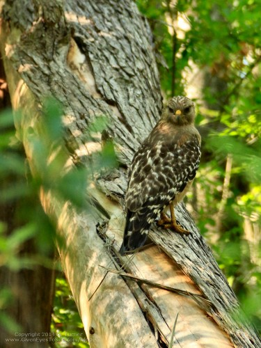 I think this is a red-shouldered hawk.